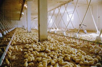 Massentierhahltung bei Hühnern.