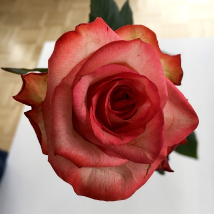 Fairtrade Max Havelaar Rose