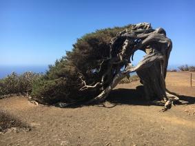 El Sabinar - der gekrümmte Wacholderbaum