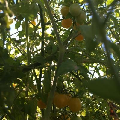 Cherry-Tomaten frisch ab dem Strauch