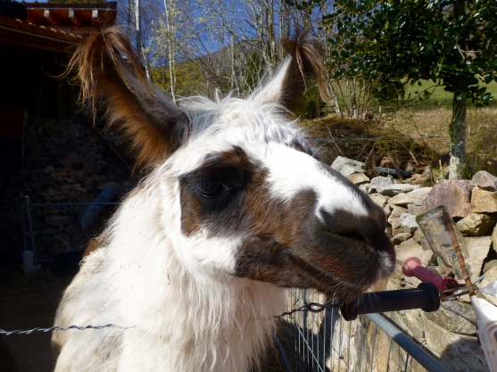 Lama-Stute Mariella