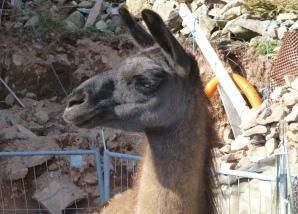 Lama-Stute Regia