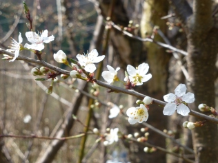 Cherry Plum (Kirschpflaume)
