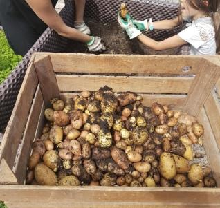 Kartoffeln, Härdöpfel