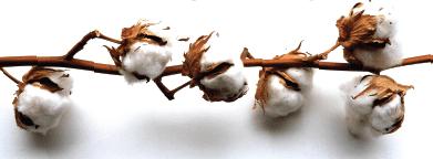 Wie nachhaltig istBaumwolle?